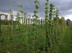 Five different hop varieties are being grown in Amsterdam