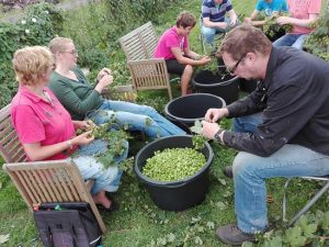 Hop harvest is labour intensive and great fun!