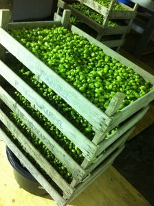 Fresh hop flowers in the drying room.
